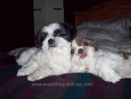 2 Shih tzu dogs