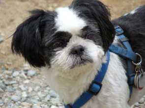 Shih Tzu dog named Rocky