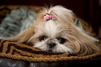 Beautiful tan and white Shih Tzu