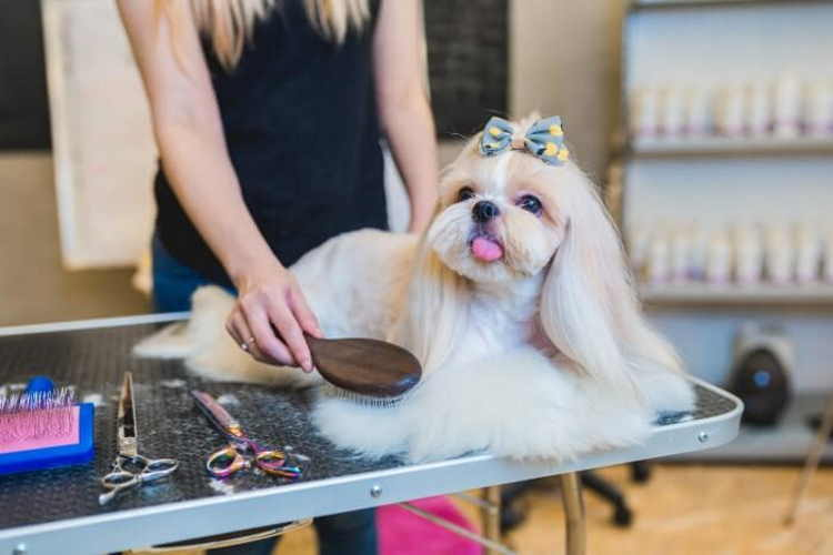 Tan and white Shih Tzu dog being brushed on a grooming table