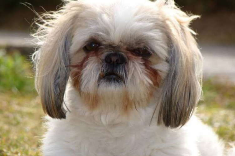 White Shih Tzu dog with severe tear stains