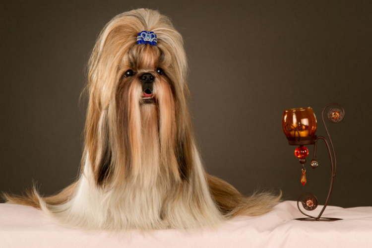 Beautifully groomed Shih Tzu dog