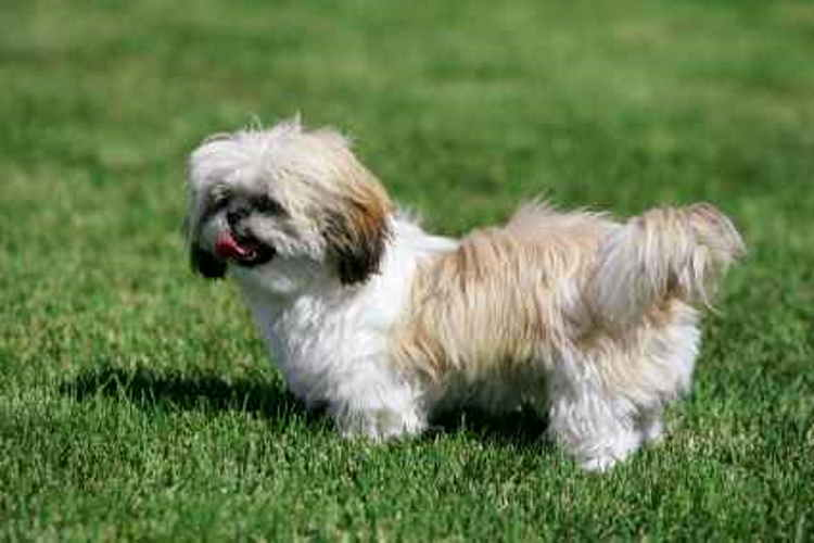 Tan and White Shih Tzu
