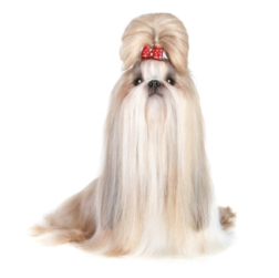Well groomed Shih Tzu dog