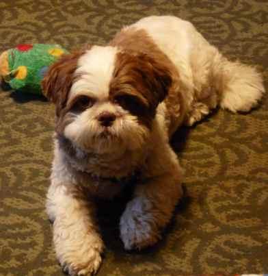 Shih Tzu dog named Max