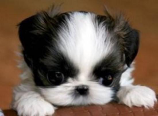 Shih Tzu Puppy Preparing Your Home