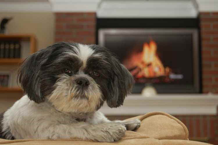 Black And White Shih Tzu Looking Into The Camera While Relaxing In His Apartment Home