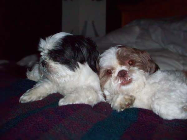 Pair of Shih Tzu dogs laying against each other.