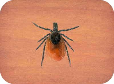 laranja, carrapato de 8 patas com uma mancha preta perto da área da cabeça