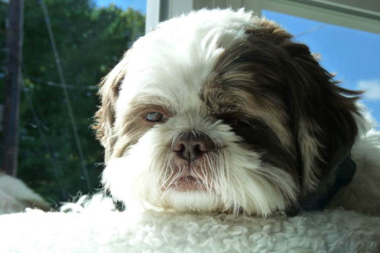 A close up of a Liver Shih Tzu head, showing the color of his muzzle, nose, and lips