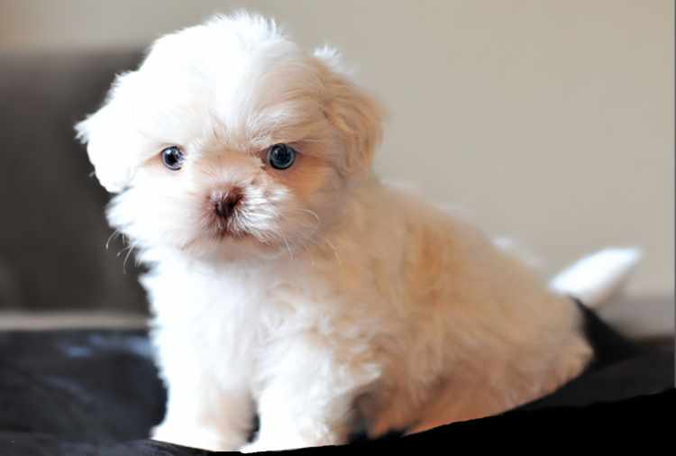 Small white Shih Tzu with blue eyes sitting down looking into camera