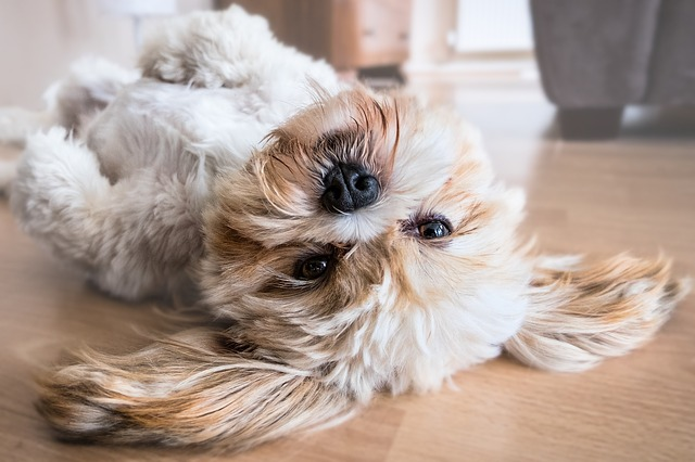 Tan and white Shih Tzu dog rolling over onto his back
