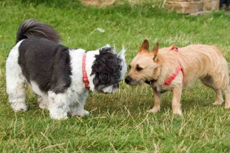a Shih Tzu dog and another small dog breed meeting face to face
