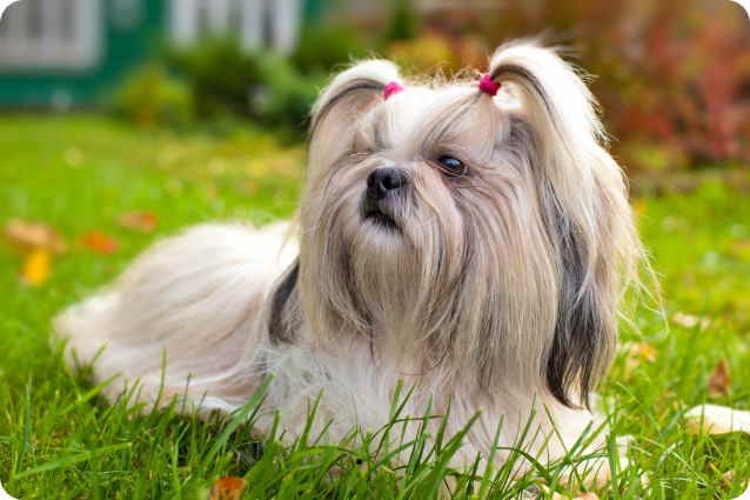 Cão Shih Tzu de cor clara, deitado na grama