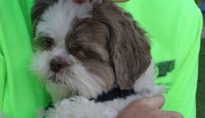 Close up photo of a Liver Shih Tzu dog eyes