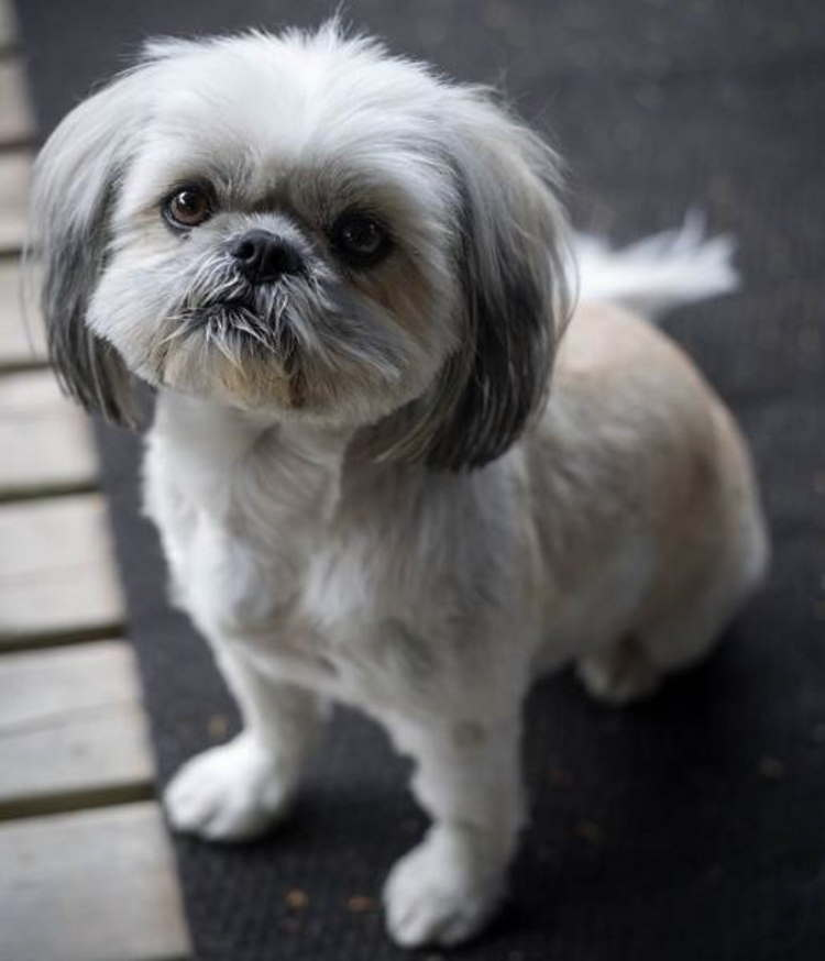 Do All Shih Tzu Have Long Hair Yes And No