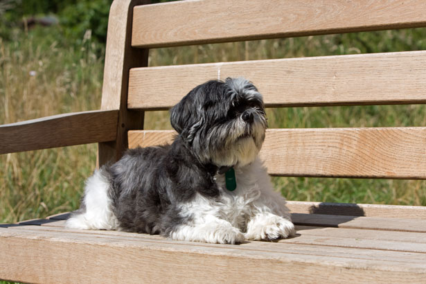 Beautiful Shih Tzu dog sitting on a bench
