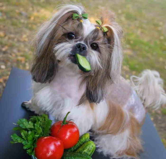 Shih Tzu eating a cucumber
