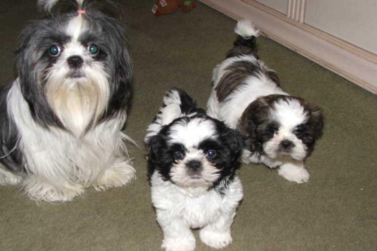 Shih Tzu adulto preto e branco e dois cachorrinhos preto e branco Shih Tzu.  Quando Shih Tzu está totalmente crescido?