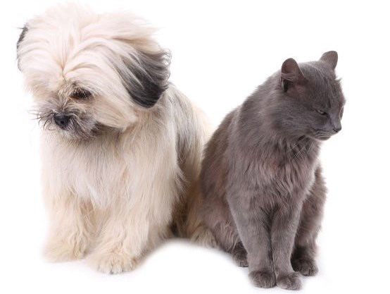 Shih Tzu and cat looking away from each other