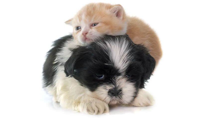 Kitten laying on a black and white Shih Tzu