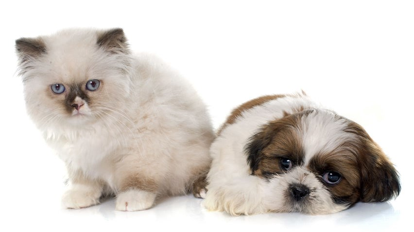 Persian cat an Shih Tzu dog hanging out with each other
