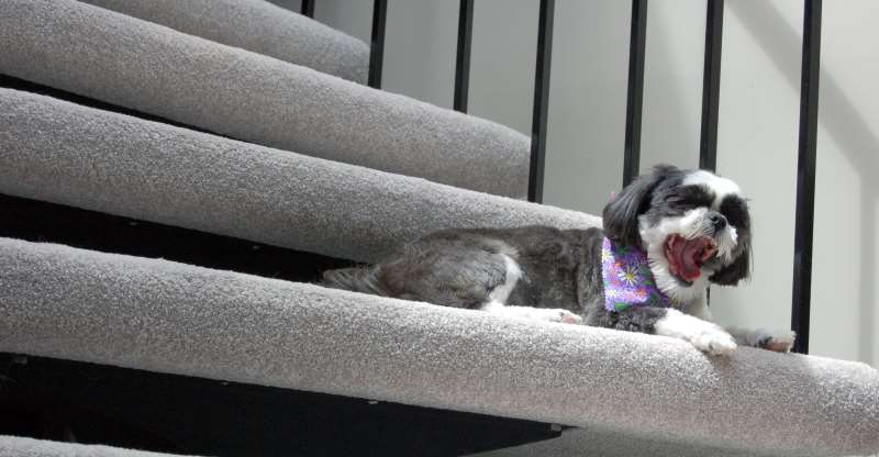 Shih Tzu laying on the stairs with mouth wide open
