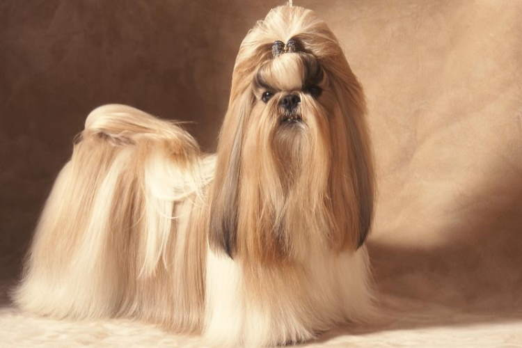 Long coated tan and white Shih Tzu dog