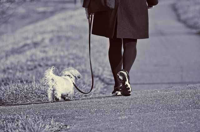 Person taking their Shih Tzu out for a walk