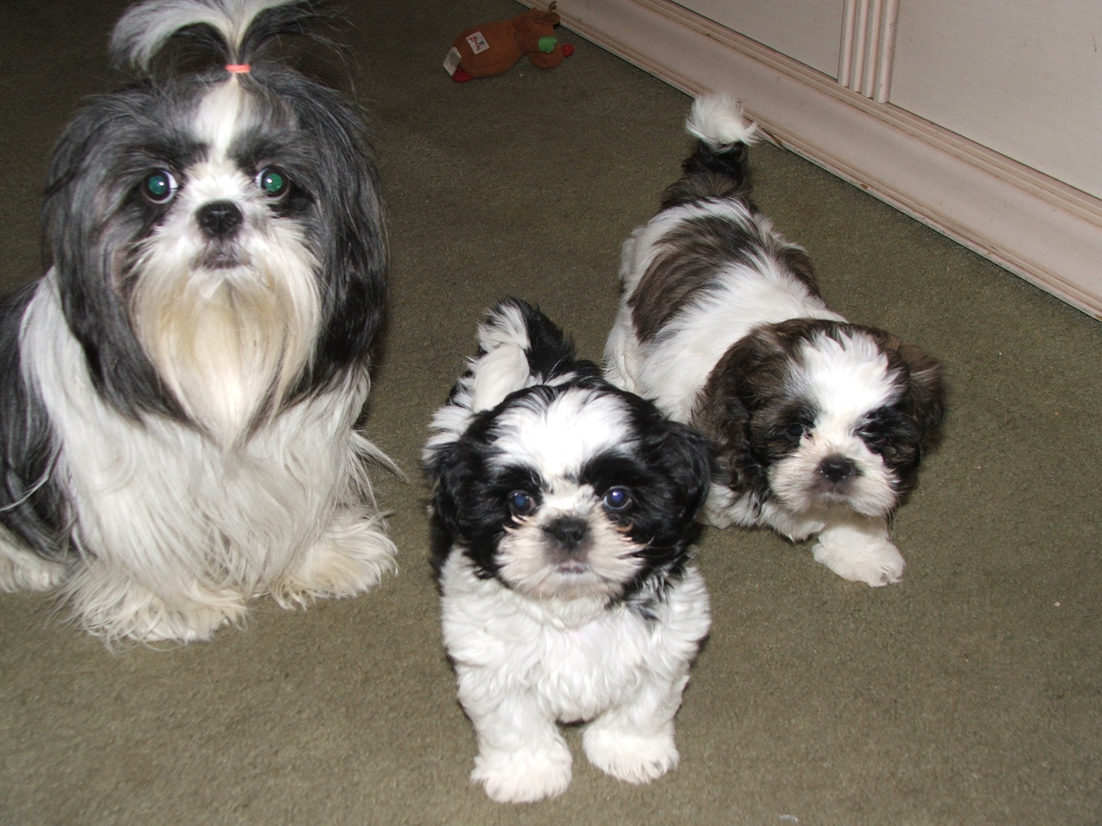 Mommy Shih Tzu with her two baby Shih Tzu