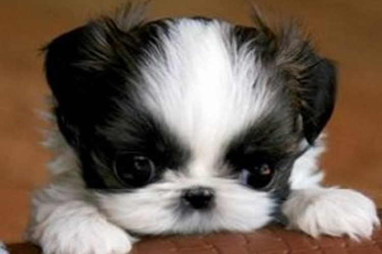 Shih Tzu Puppy - What To Expect From Shih Tzu Puppies