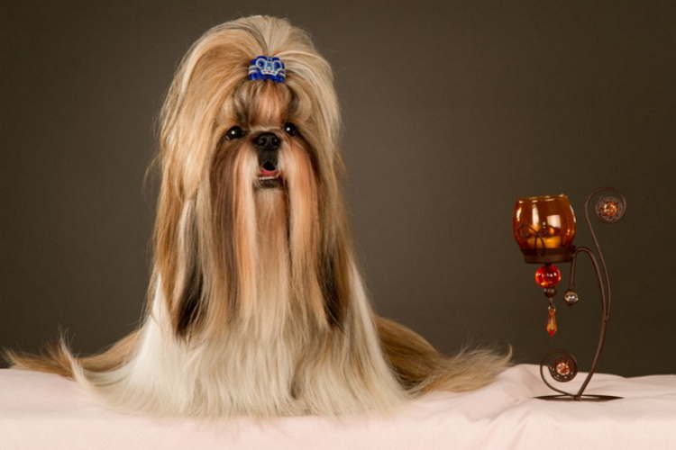 Beautifully groomed Shih Tzu dog