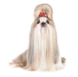 Well groomed Shih Tzu dog