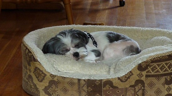 Rufus our Shih Tzu mix puppy napping in his bed after a long day of playing