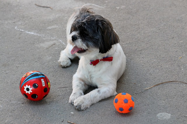 Black and white Shih Tzu laying down with his toys
