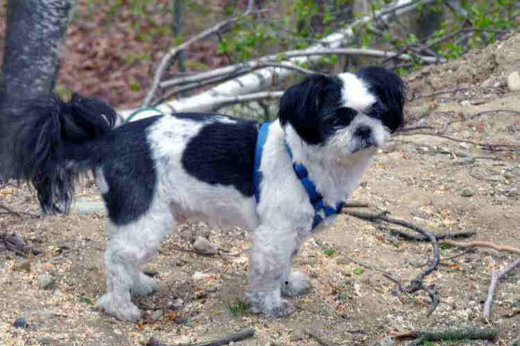 Shih Tzu dog in a wooded setting