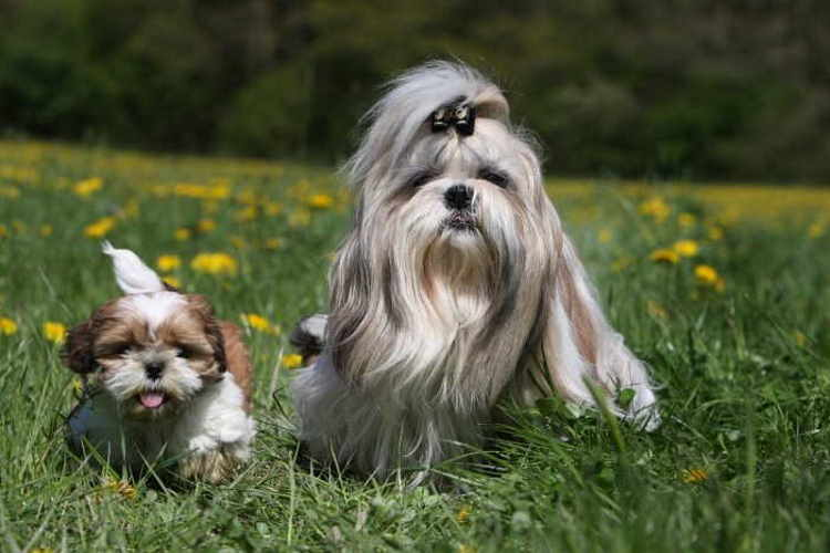 Long haired Shih Tzu walking with a smaller short haired Shih Tzu puppy