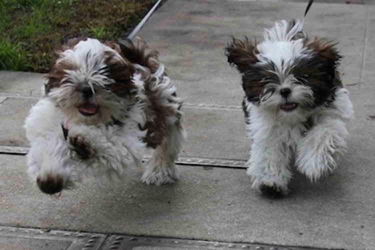 Two Shih Tzu puppies having fun