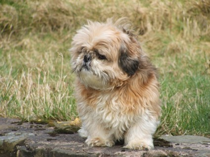 Shih Tzu Dog sitting on stone wall